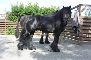 Fell Pony Hingst