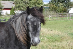 Fell Pony, Lukka
