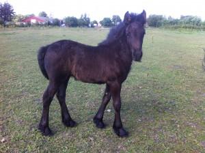 G. Dahlia Fell Pony